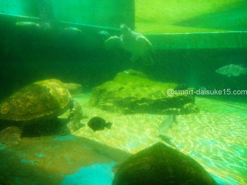 姫路市立水族館 ウミガメ