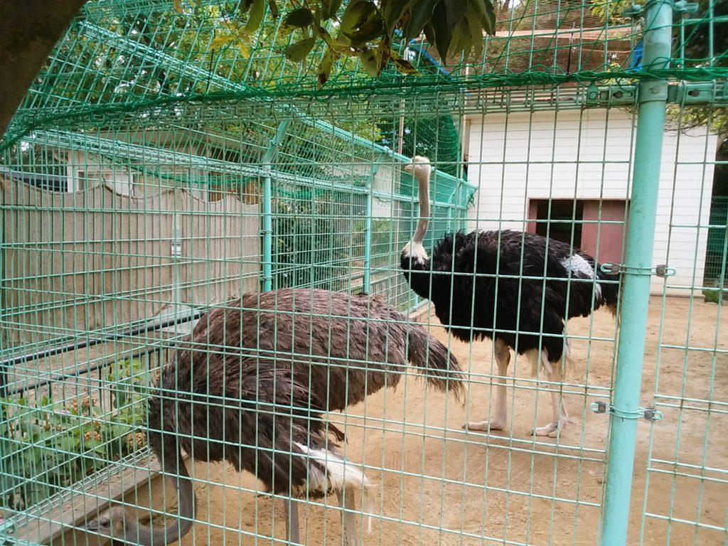 姫路動物園 ダチョウ