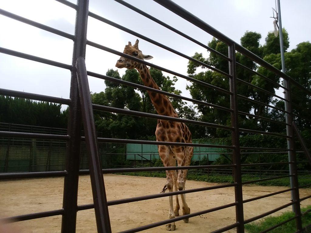 姫路動物園 キリン