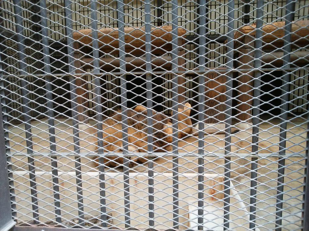 姫路動物園 ライオン