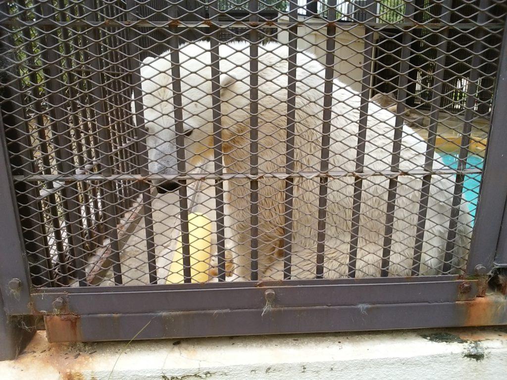 姫路動物園 シロクマ
