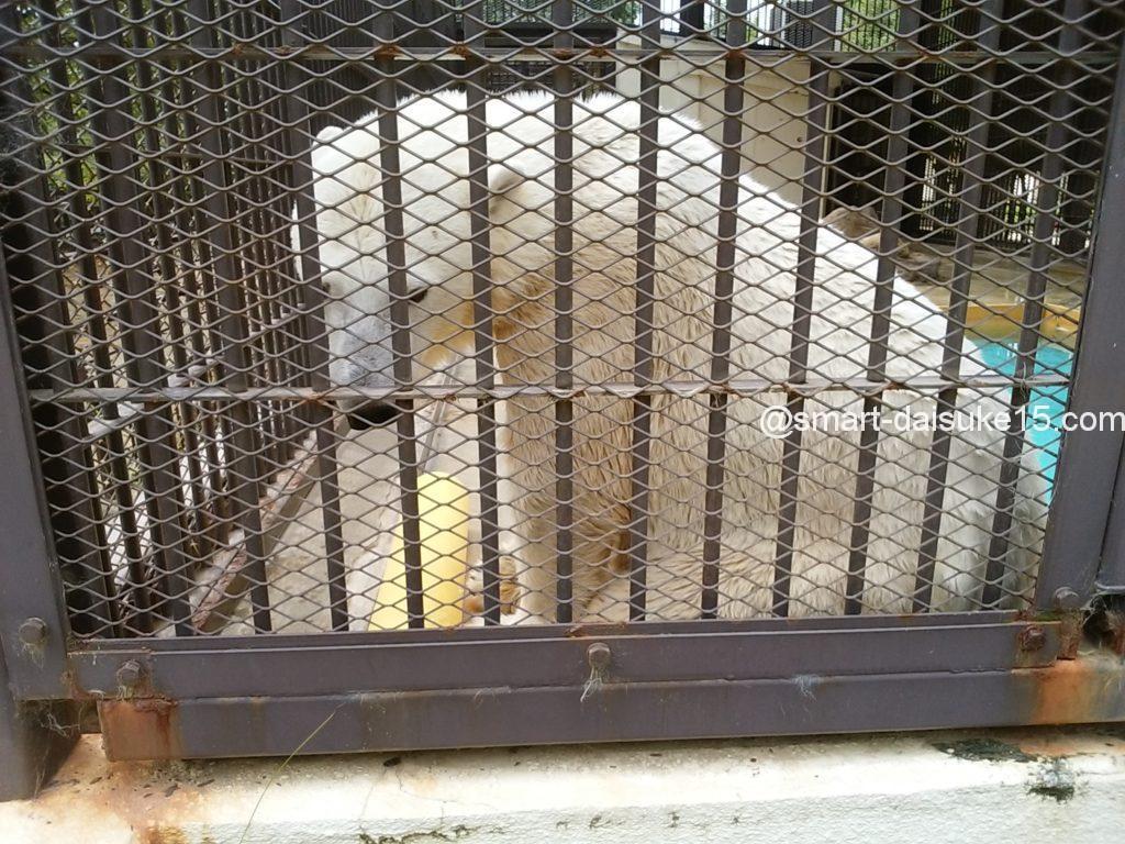 姫路動物園シロクマ