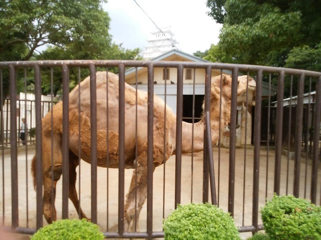 姫路動物園 ラクダ