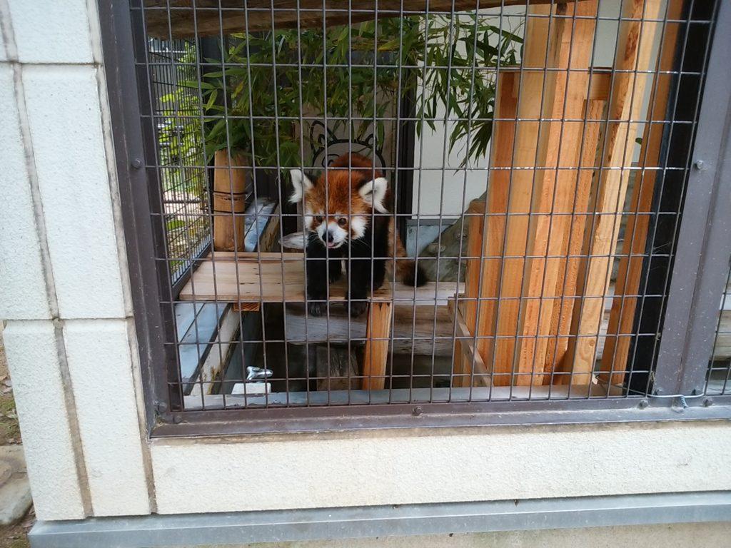 姫路動物園 レッサーパンダ