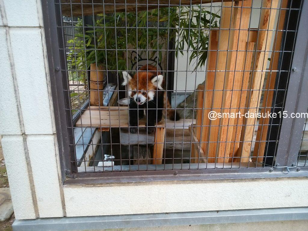 姫路動物園レッサーパンダ