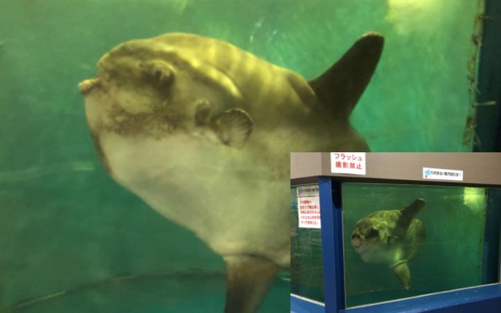 越前松島水族館 マンボウ